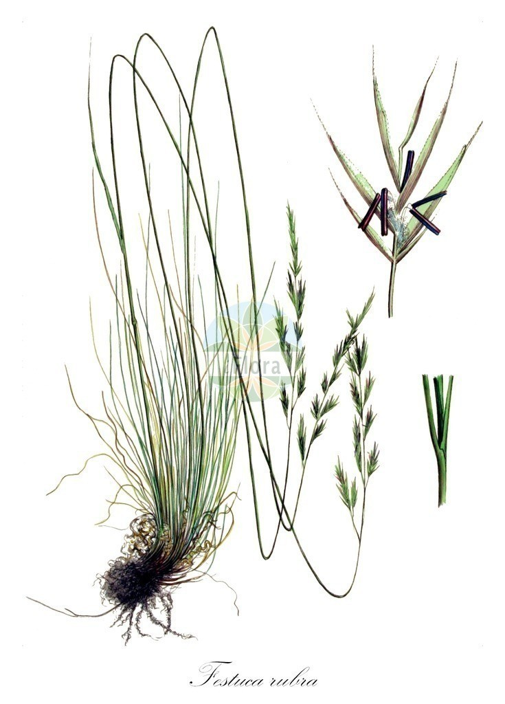 Historical drawing of Festuca rubra (Red Fescue) | Historical drawing of Festuca rubra (Red Fescue) showing leaf, flower, fruit, seed