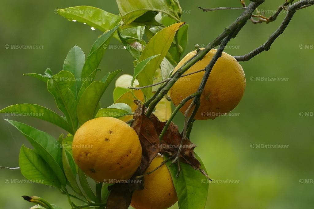 P1010237 | Ausgewilderte Orangen in den palmerischen Wäldern