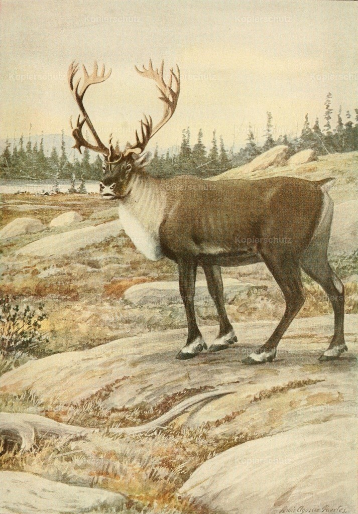 Fuertes_ L.A. (1874-1927) - Wild Animals of N. America 1918 - Woodland Caribou