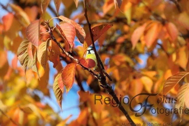 Blick durch die Blätter | Diese hübsche Blaumeise schaut durch die bunten Blätter neugierig auf den Fotografen.