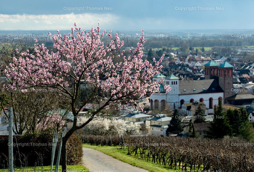 DSC_1704 | Bensheim, Frühling, Mandelblüte, Hessische Bergstraße, Blick auf den Kirchberg mit dem Kirchberghäuschen, Bild: Thomas Neu