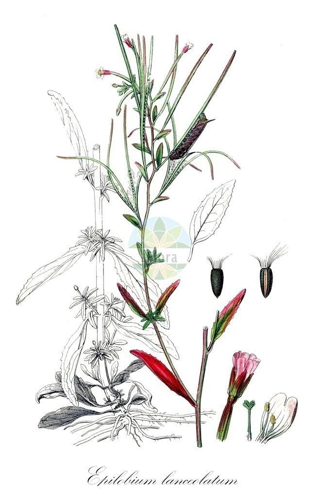 Historical drawing of Epilobium lanceolatum (Spear-leaved Willowherb) | Historical drawing of Epilobium lanceolatum (Spear-leaved Willowherb) showing leaf, flower, fruit, seed