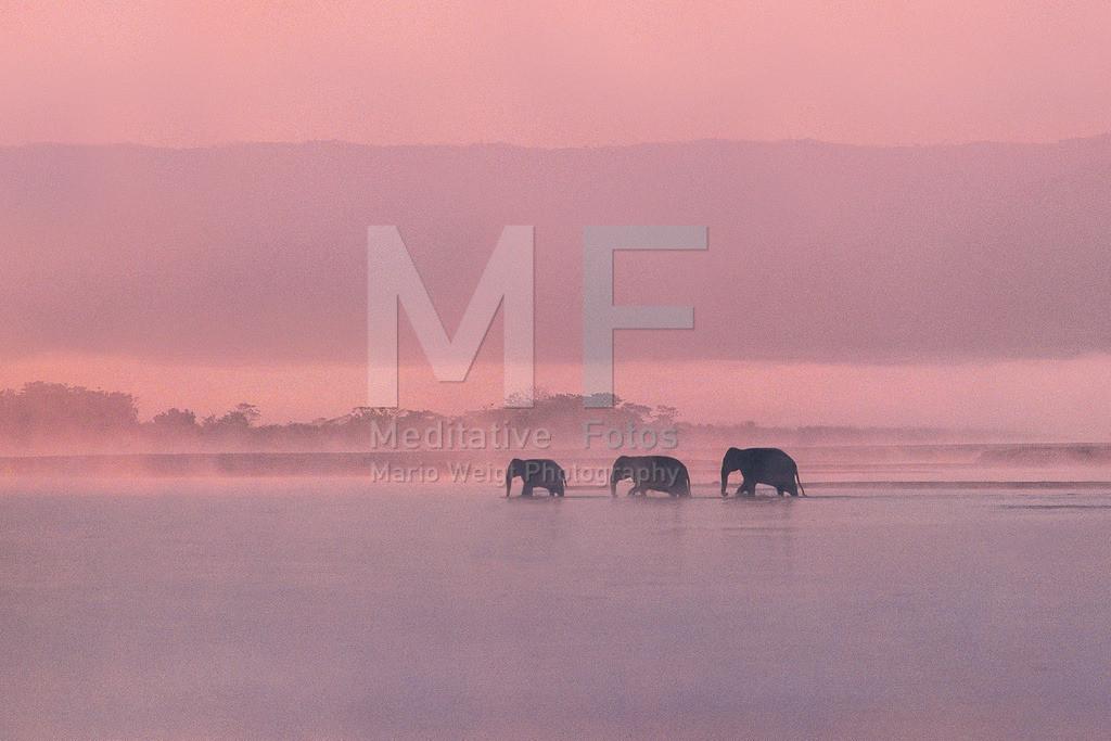 MW0115-5403 | Asiatische Elefanten im Morgendunst