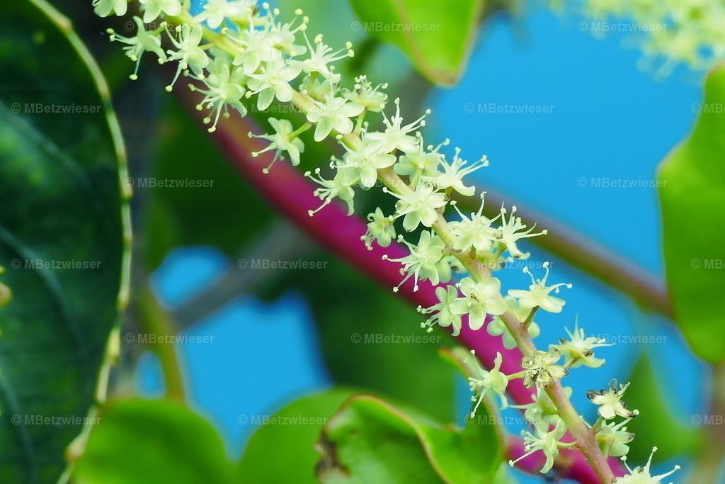 P1000718 | Die Blüten des chilenischen Pfefferbaumes