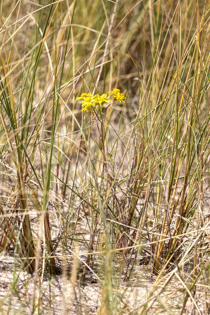Frühling an der Ostsee   Blume am Strand in Weidefeld