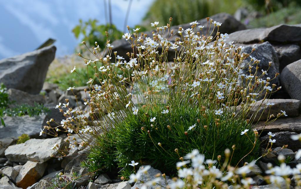 Androsace lactea (Milchweisser Mannsschild - Milkwhite Androsace) | Foto von Androsace lactea (Milchweisser Mannsschild - Milkwhite Androsace). Das Foto wurde in Schynige Platte, Interlaken, Bern, Schweiz aufgenommen. ---- Photo of Androsace lactea (Milchweisser Mannsschild - Milkwhite Androsace).The picture was taken in Schynige Platte, Interlaken, Bern, Switzerland.