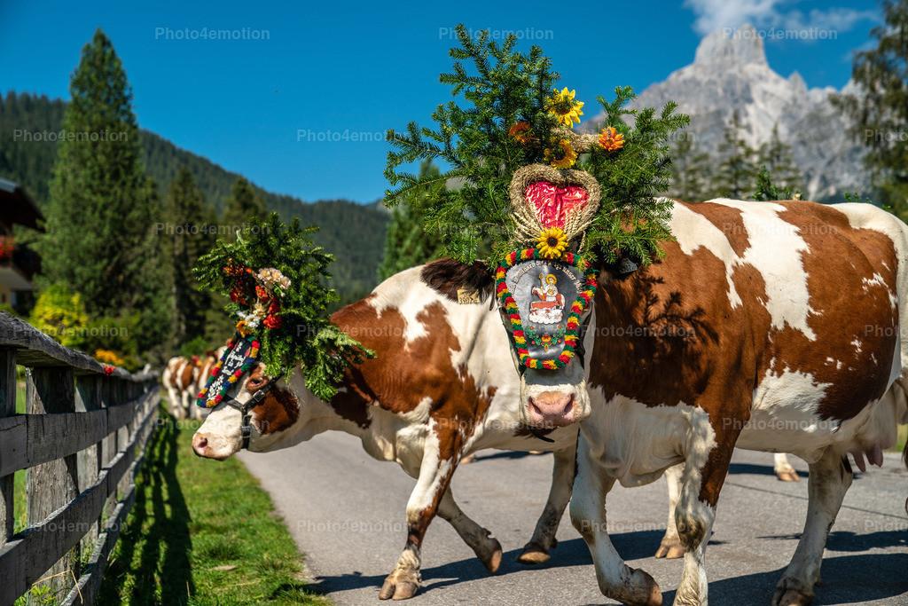 Alpabtrieb Filzmoos   Filzmoos im Salzburger Land, ist eines der schönsten Bergdörfer der österreichischen Alpen. Der Gosaukamm mit der markanten Bischofsmütze prägen das Ortsbild von Filzmoos. Im Herbst treibt man das Vieh von den Almen ins Tal. Das Weidevieh wird mit Kränzen, Zweigen und Bändern festlich geschmückt. Besonders faszinierend sind die großen Glocken, die die Tiere umgehängt bekommen