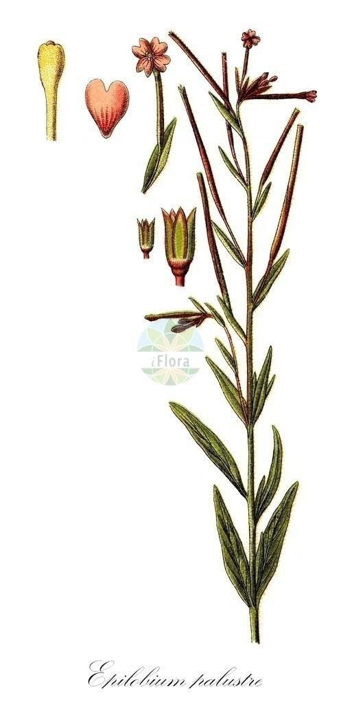 Historical drawing of Epilobium palustre (Marsh Willowherb)   Historical drawing of Epilobium palustre (Marsh Willowherb) showing leaf, flower, fruit, seed