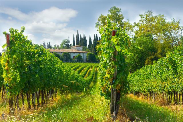 Weinberg mit Haus in der Toscana | Ein Weinberg in der Toscana, Italien. Rote Trauben Reben und im Hintergrund das Haus des Weinbauers.