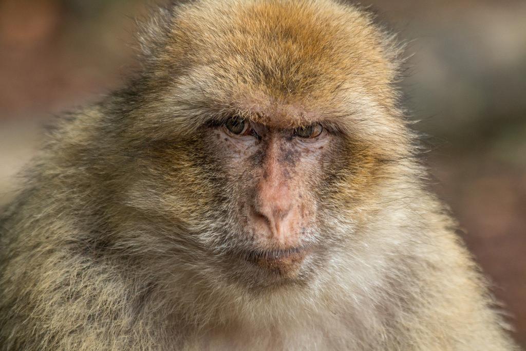 Wenn Blicke töten könnten!   Vielleicht ist es den Affen gar nicht recht, dass wir mit ihnen verwandt sind.