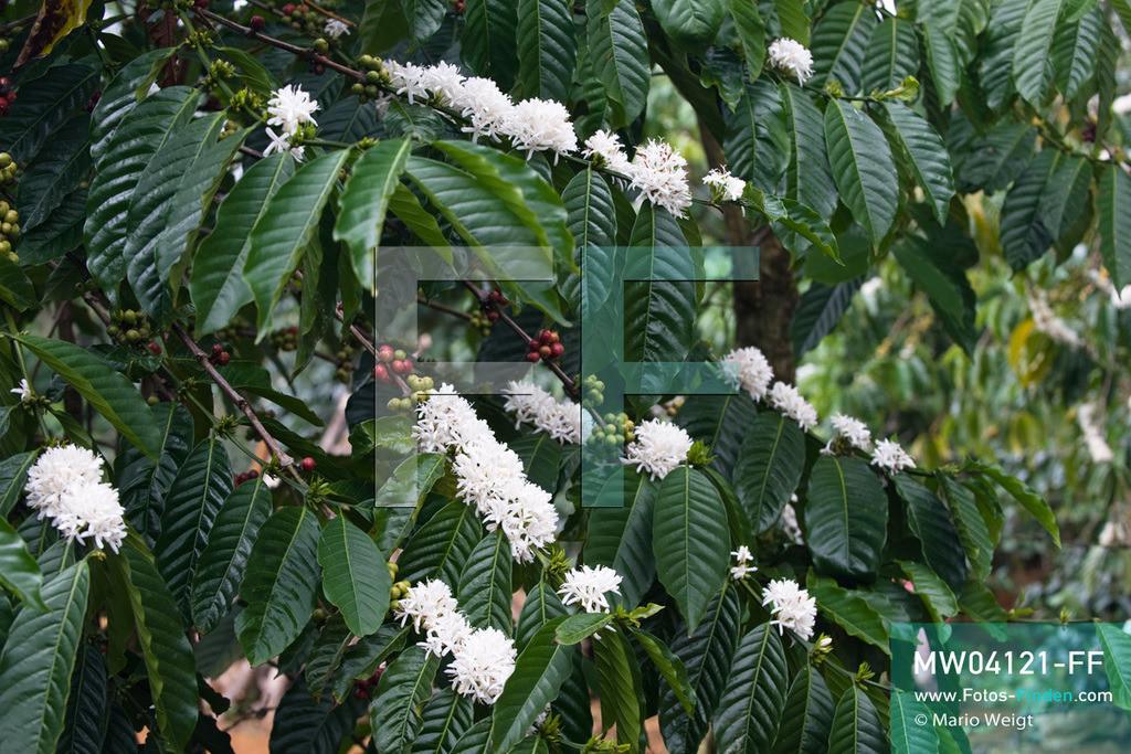 MW04121-FF | Laos | Paksong | Reportage: Kaffeeproduktion in Laos | Kaffeestrauch mit grünen und roten Kaffeekirschen. Die weißen Blüten duften wie Jasmin. In den Plantagen auf dem Bolaven-Plateau gedeihen Sträucher der Kaffeesorten Robusta und Arabica.  ** Feindaten bitte anfragen bei Mario Weigt Photography, info@asia-stories.com **