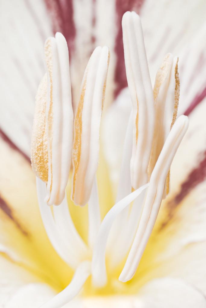 Amaryllis | Amaryllisblüte (Amaryllis).