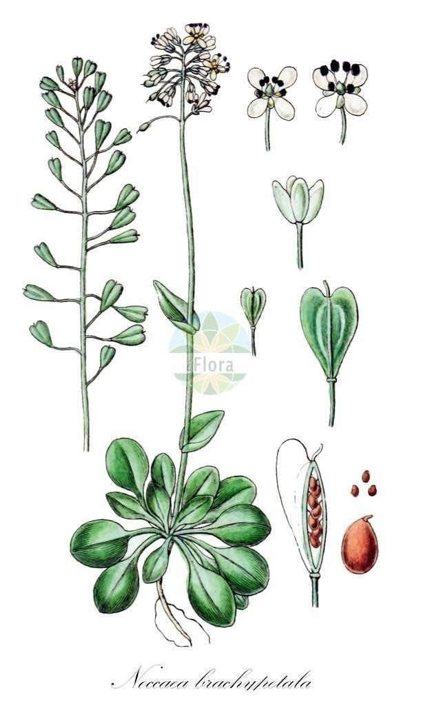 Historical drawing of Noccaea brachypetala   Historical drawing of Noccaea brachypetala showing leaf, flower, fruit, seed
