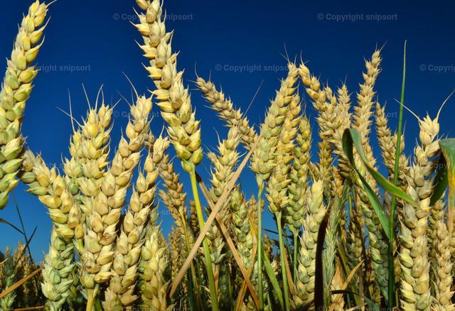 Weizenähren | Gelbe reife Weizenähren mit tiefblauem Himmel im Hintergrund.