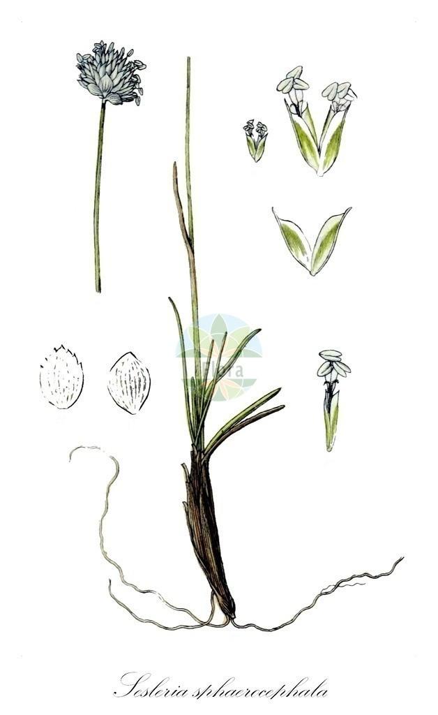 Historical drawing of Sesleria sphaerocephala | Historical drawing of Sesleria sphaerocephala showing leaf, flower, fruit, seed