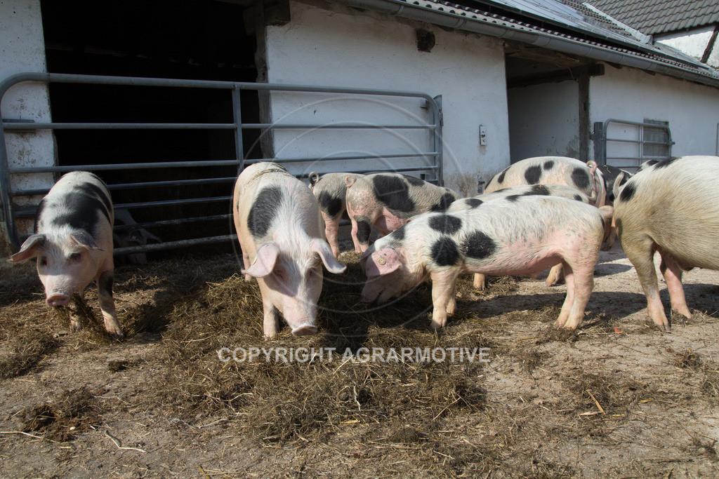 20130425-_MG_6224 | Bioschweine - AGRARMOTIVE Bilder aus der Landwirtschaft