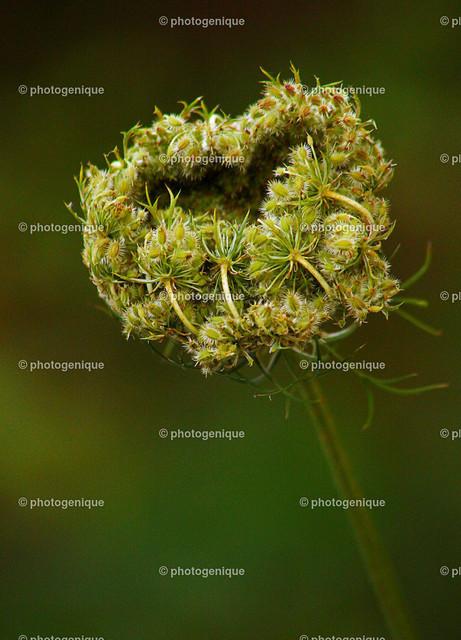Wilde Möhre   herz-förmige Blüte einer wilden Möhre bei Tageslicht vor einem grünen Hintergrund