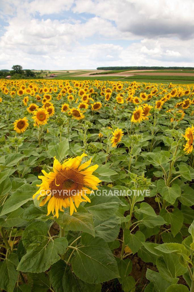 20090711-IMG_3665 | blühende Sonnenblumen im Sommer - AGRARMOTIVE Bilder aus der Landwirtschaft