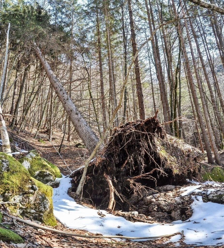 Wald-Baum-Windwurf-Feb15_011pano_1