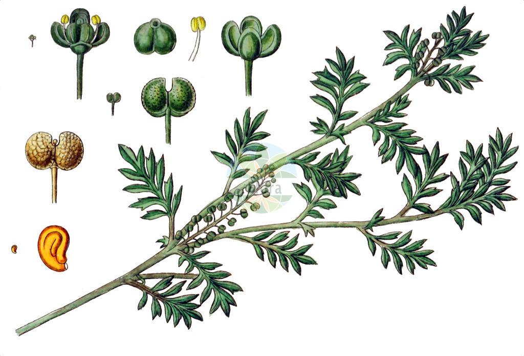 Lepidium didymum (Zweiknotiger Kraehenfuss - Lesser Swine-cress)   Historische Abbildung von Lepidium didymum (Zweiknotiger Kraehenfuss - Lesser Swine-cress). Das Bild zeigt Blatt, Bluete, Frucht und Same. ---- Historical Drawing of Lepidium didymum (Zweiknotiger Kraehenfuss - Lesser Swine-cress).The image is showing leaf, flower, fruit and seed.