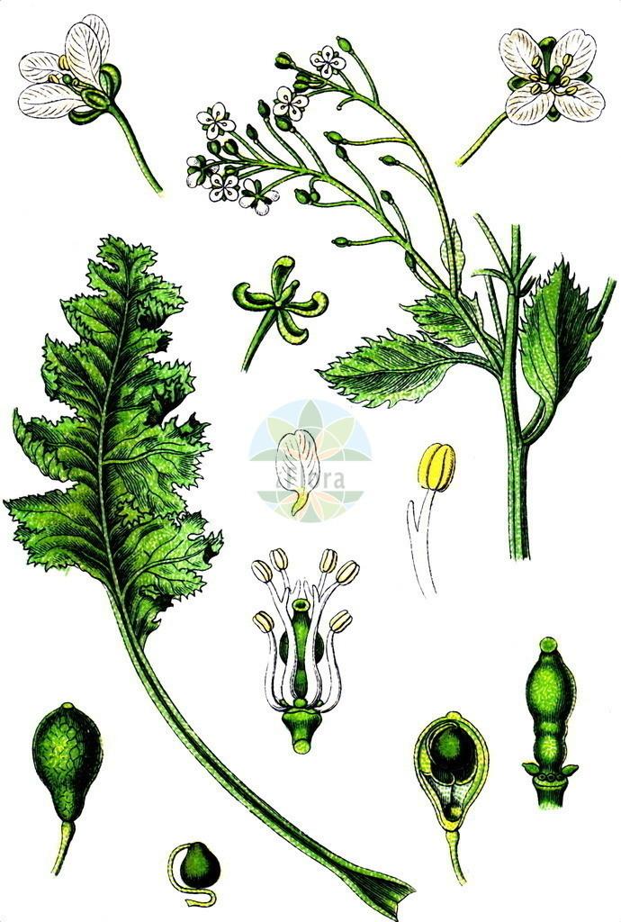 Crambe maritima (Echter Meerkohl - Sea-kale) | Historische Abbildung von Crambe maritima (Echter Meerkohl - Sea-kale). Das Bild zeigt Blatt, Bluete, Frucht und Same. ---- Historical Drawing of Crambe maritima (Echter Meerkohl - Sea-kale).The image is showing leaf, flower, fruit and seed.