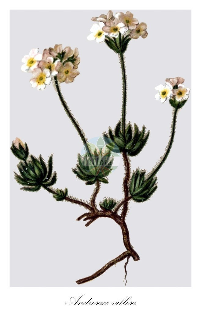 Historical drawing of Androsace villosa (Androsace) | Historical drawing of Androsace villosa (Androsace) showing leaf, flower, fruit, seed