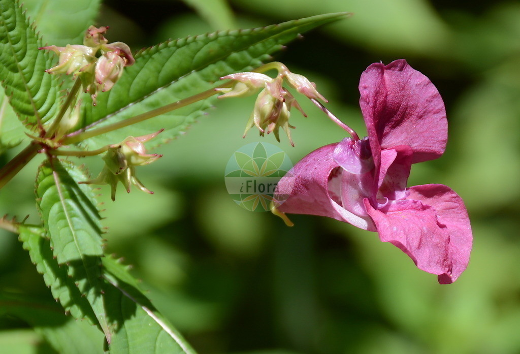 Impatiens glandulifera (Druesiges Springkraut - Indian Balsam) | Foto von Impatiens glandulifera (Druesiges Springkraut - Indian Balsam). Das Bild zeigt Blatt und Bluete. Das Foto wurde in Stans, Tirol, Österreich, Alpen aufgenommen. ---- Photo of Impatiens glandulifera (Druesiges Springkraut - Indian Balsam).The image is showing leaf and flower.The picture was taken in Stans, Tyrol, Austria, Alps.