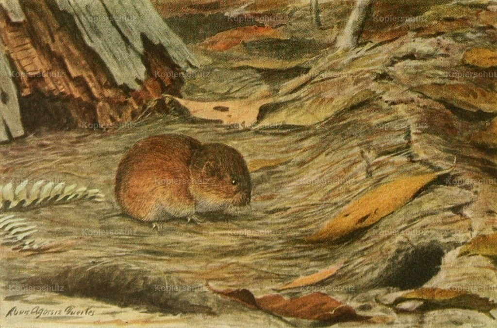 Fuertes_ L.A. (1874-1927) - Wild Animals of N. America 1918 - Pine Mouse
