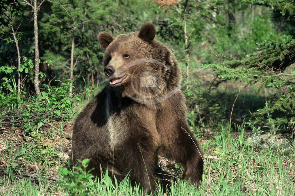 Grizzly_10-40x60
