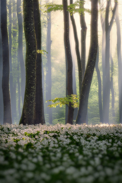 Mythischer Eifelwald | Wenn im Frühling am Morgen die Luft noch kühl und feucht ist, bricht die Sonne manchmal wie Götterstahlen zum Boden hindurch. Ein fantastischer und meist einsamer Moment.