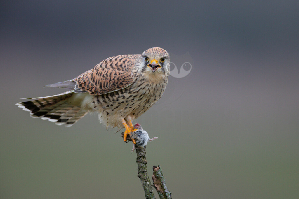 20200111-663A6935 |  Tiere & Pflanzen Aktionen & Projekte Vogel des Jahres 2007 - Turmfalke Der Turmfalke Vogel des Jahres 2007 Der Turmfalke bevorzugt hochgelegene Brutplätze. Auf diese Vorliebe ist wohl auch sein Name zurückzuführen. Der wissenschaftliche Name Tinnunculus bedeutet