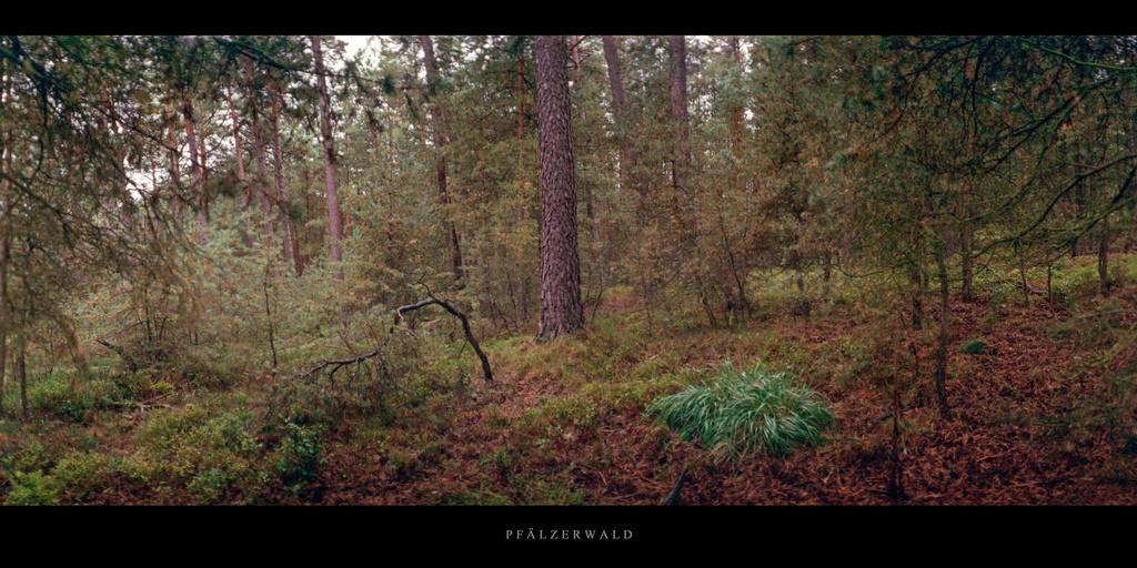Pfälzerwald   Kiefernwald im Pfälzerwald