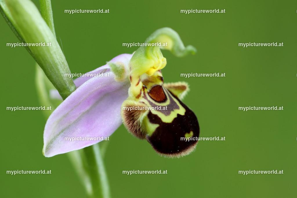 Bienen-Ragwurz-002