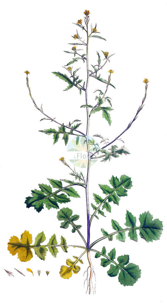 Sisymbrium officinale (Weg-Rauke - Hedge Mustard) | Historische Abbildung von Sisymbrium officinale (Weg-Rauke - Hedge Mustard). Das Bild zeigt Blatt, Bluete, Frucht und Same. ---- Historical Drawing of Sisymbrium officinale (Weg-Rauke - Hedge Mustard).The image is showing leaf, flower, fruit and seed.