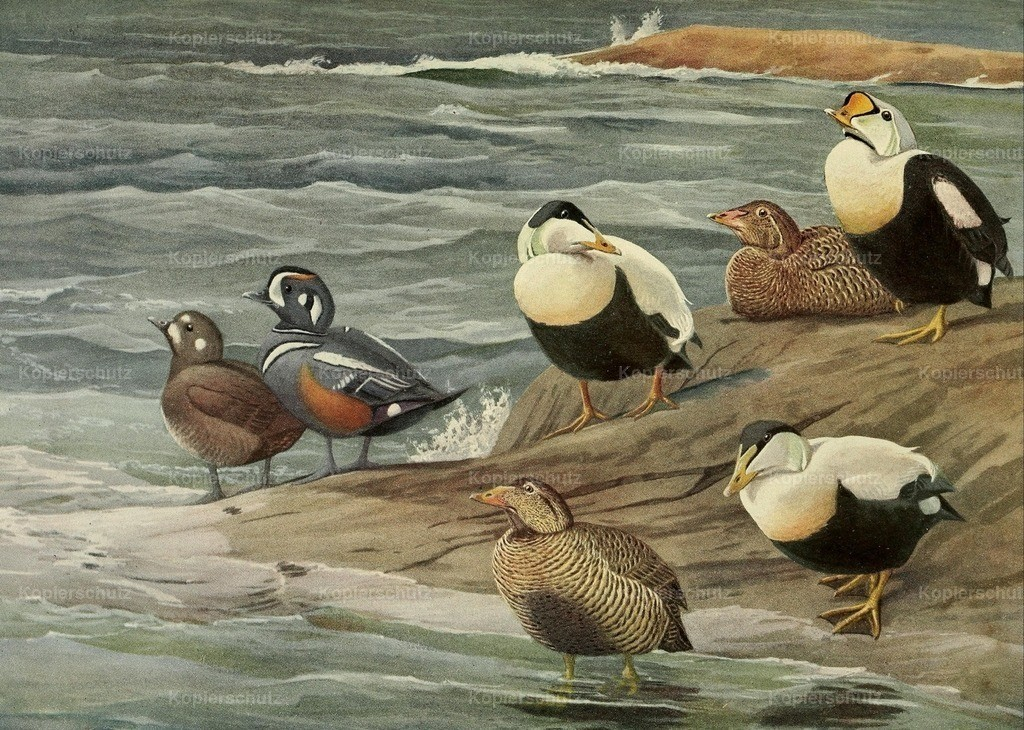 Fuertes_ L.A. (1874-1927) - Birds of Massachusetts 1925 - Eider _ Harlequin Ducks
