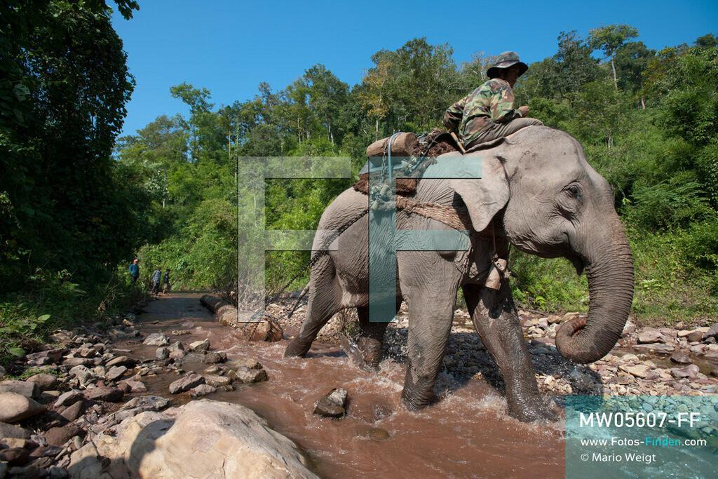 MW05607-FF | Laos | Provinz Sayaboury | Reportage: Arbeitselefanten in Laos | Arbeitselefant zieht einen Baumstamm durch den Fluss zum Holzfällercamp.  Lane Xang -