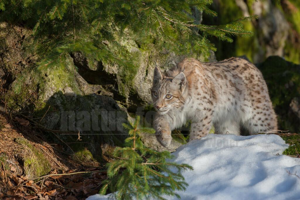 20080210_16453714020 | Die Luchse sind eine Gattung in der Familie der Katzen. Alle vier heute lebenden Arten kommen auf der Nordhalbkugel vor: Der Eurasische Luchs ist in weiten Teilen Europas und Asiens verbreitet.