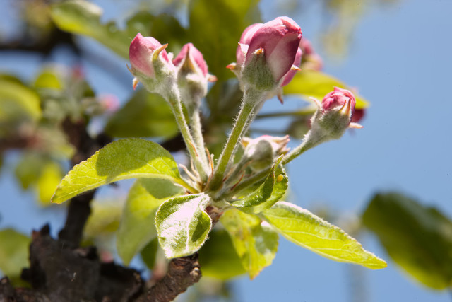 Nahaufnahme Apfelbaumblüten | DEU, Deutschland, Filderstadt, 25.04.2010, Nahaufnahme Apfelbaumblüten, © 2018 Christoph Hermann, Bild-Kunst Urheber 707707