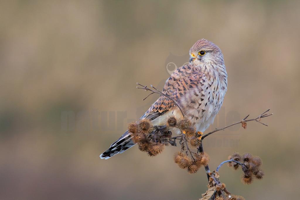 20180916-663A1916 | Der Turmfalke (Falco tinnunculus) ist der häufigste Falke in Mitteleuropa. Vielen ist der Turmfalke vertraut, da er sich auch Städte als Lebensraum erobert hat und oft beim Rüttelflug zu beobachten ist.