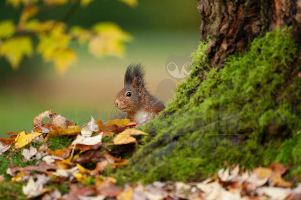 20081029165437   Das Eurasische Eichhörnchen, häufig nur als Eichhörnchen bekannt, ist ein Nagetier aus der Familie der Hörnchen. Es ist der einzige natürlich in Mitteleuropa vorkommende Vertreter aus der Gattung der Eichhörnchen und wird zur Unterscheidung von anderen Arten wie dem Kaukasischen Eichhörnchen und dem in Europa eingebürgerten Grauhörnchen auch als Europäisches Eichhörnchen bezeichnet.