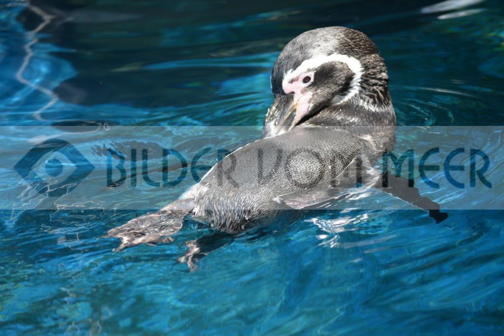 Pinguine Bilder   Foto Pinguin Spanien