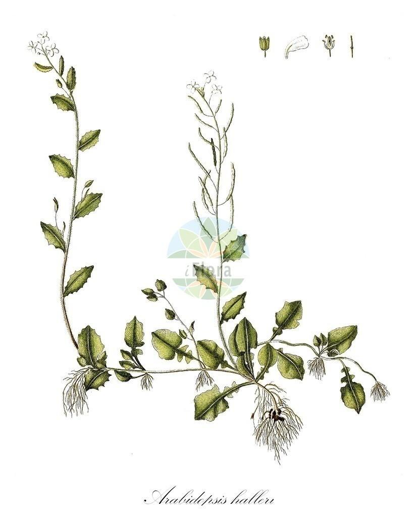Historical drawing of Arabidopsis halleri (Haller's Rockcre   Historical drawing of Arabidopsis halleri (Haller's Rockcress) showing leaf, flower, fruit, s