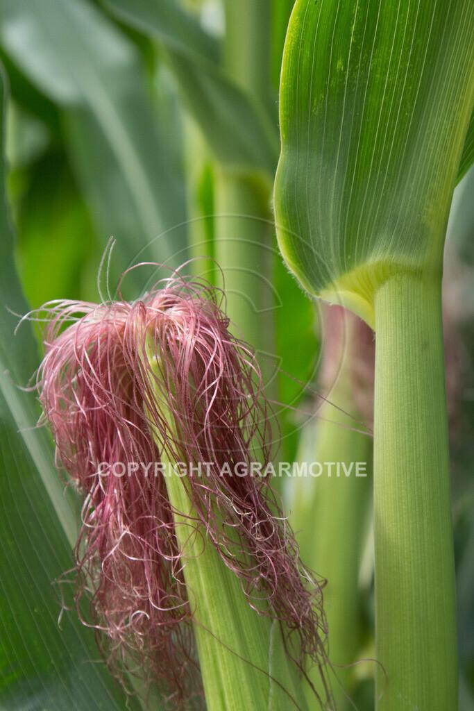 20130817-_MG_9003 | Maiskolben mit Blüten - AGRARMOTIVE