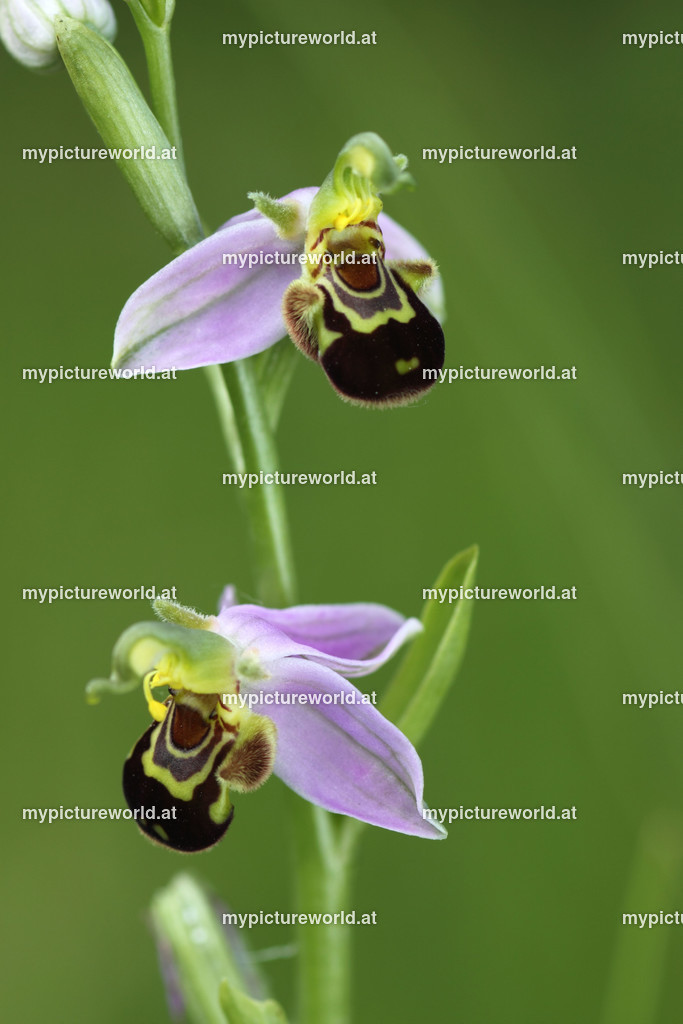 Bienen-Ragwurz-003