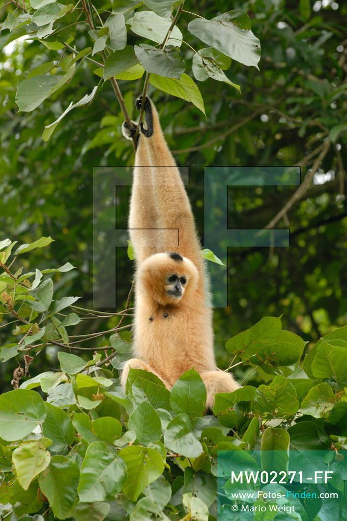 MW02271-FF | Vietnam | Provinz Ninh Binh | Reportage: Endangered Primate Rescue Center | Ein Weißwangen-Schopfgibbon (Weibchen) baumelt an Zweigen. Der Deutsche Tilo Nadler leitet das Rettungszentrum für gefährdete Primaten im Cuc-Phuong-Nationalpark.   ** Feindaten bitte anfragen bei Mario Weigt Photography, info@asia-stories.com **