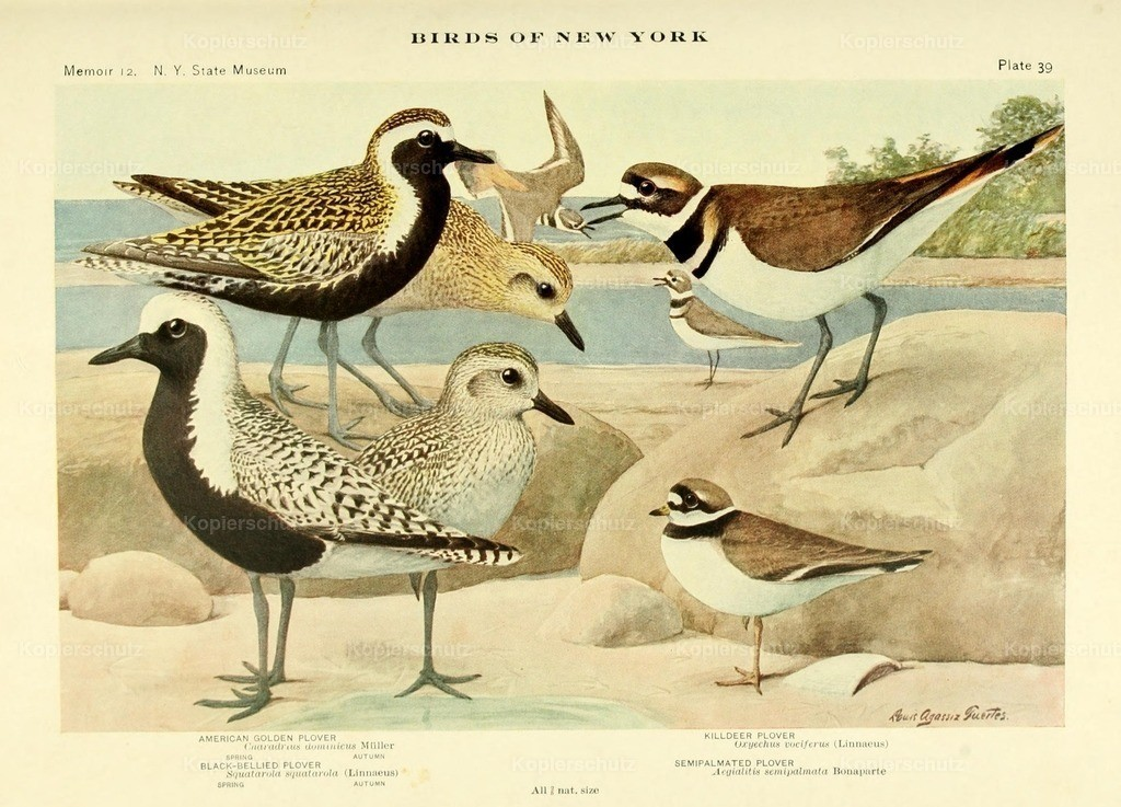 Fuertes_ L.A. (1874-1927) - Birds of NY 1914 - Plovers