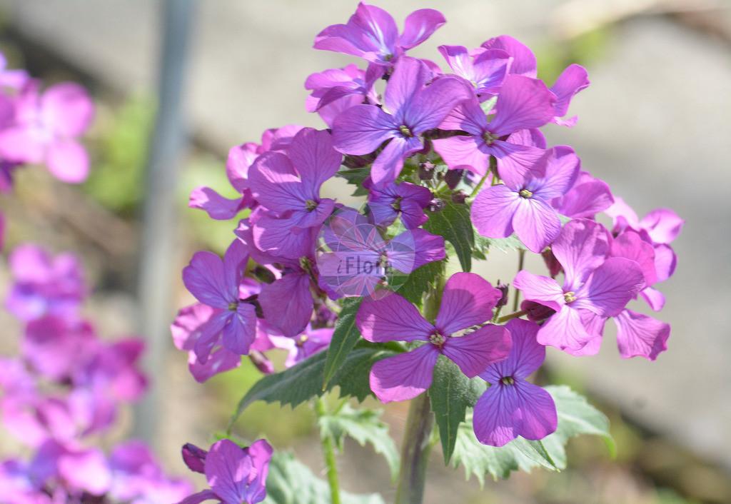 Lunaria annua (Garten-Silberblatt - Honesty) | Foto von Lunaria annua (Garten-Silberblatt - Honesty). Das Foto wurde in Muenchen, Bayern, Deutschland aufgenommen. ---- Photo of Lunaria annua (Garten-Silberblatt - Honesty).The picture was taken in Munich, Bavaria, Germany.