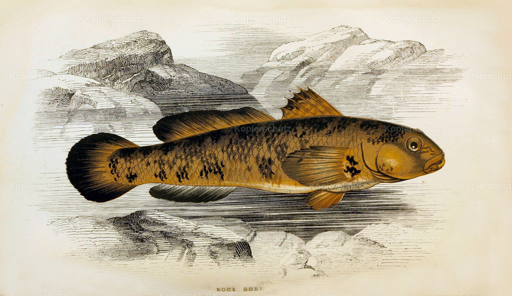 A-History-of-the -Fishes- of- the- British-Islands-Fische-1862-1866 (2)