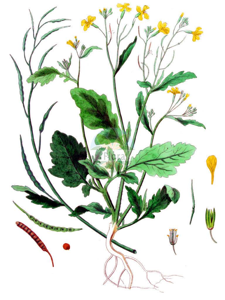 Raphanus raphanistrum (Acker-Rettich - Jointed Charlock)   Historische Abbildung von Raphanus raphanistrum (Acker-Rettich - Jointed Charlock). Das Bild zeigt Blatt, Bluete, Frucht und Same. ---- Historical Drawing of Raphanus raphanistrum (Acker-Rettich - Jointed Charlock).The image is showing leaf, flower, fruit and seed.