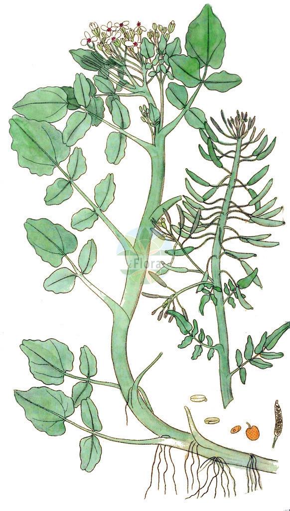 Nasturtium officinale (Gewoehnliche Brunnenkresse - Water-cress) | Historische Abbildung von Nasturtium officinale (Gewoehnliche Brunnenkresse - Water-cress). Das Bild zeigt Blatt, Bluete, Frucht und Same. ---- Historical Drawing of Nasturtium officinale (Gewoehnliche Brunnenkresse - Water-cress).The image is showing leaf, flower, fruit and seed.
